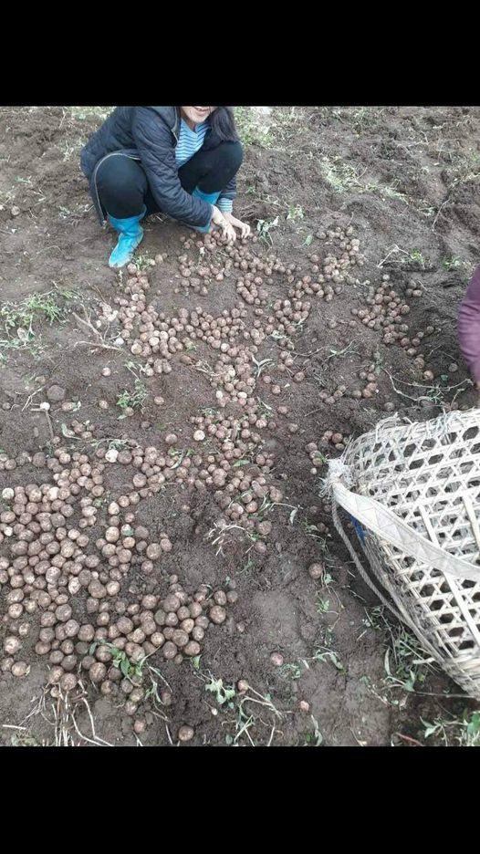 Nouvelle récolte de pomme de terre !